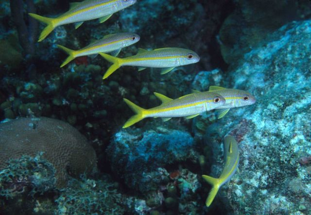 Yellow goatfish (Mulloidichthys martinicus) Picture