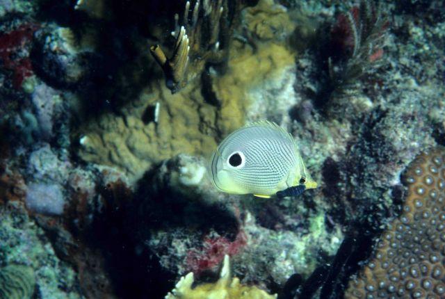 Foureye butterflyfish (Chaetodon capistratus) Picture