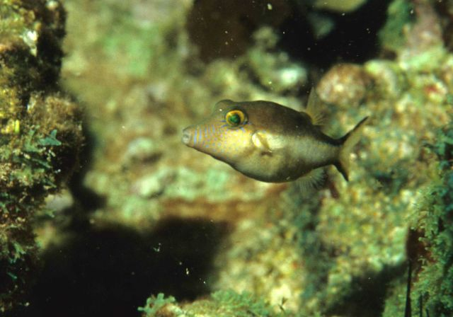 Sharpnose puffer (Canthigaster rostrata) Picture
