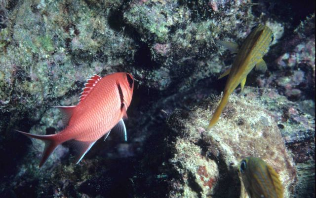 Blackbar soldierfish (Myripristis jacobus) to left and French grunt ( Haemulon flavolineatum) to right. Picture