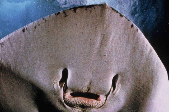 Southern stingray (Dasyatis americana) Picture