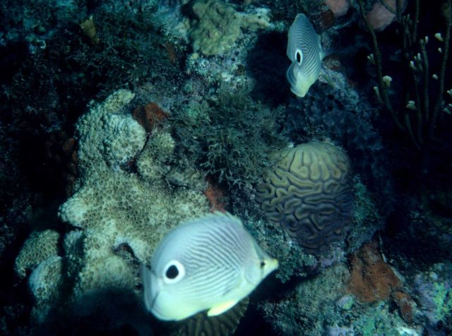 Foureye butterflyfish (Chaetodon capistratus) Picture