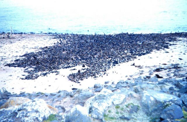 What appears to be a rock-strewn beach is in fact a fur-seal rookery Picture