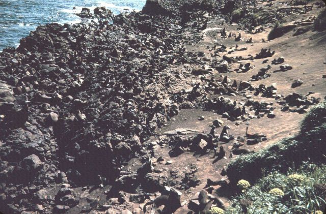 Seals hauled out on a rocky shore Picture