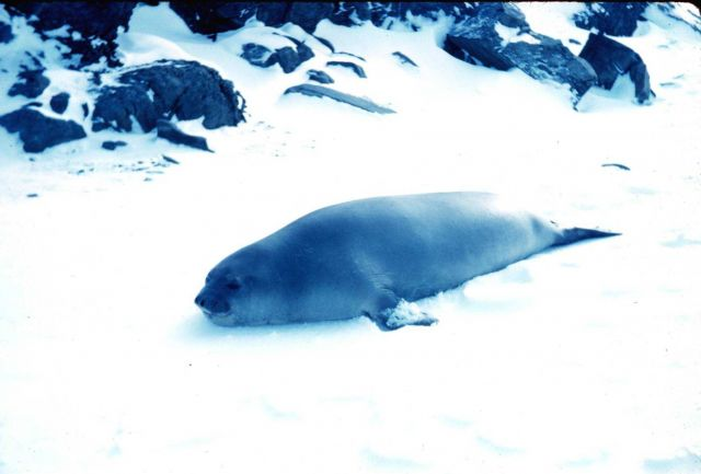 An elephant seal at Admiralty Bay, South Shetland Islands Picture