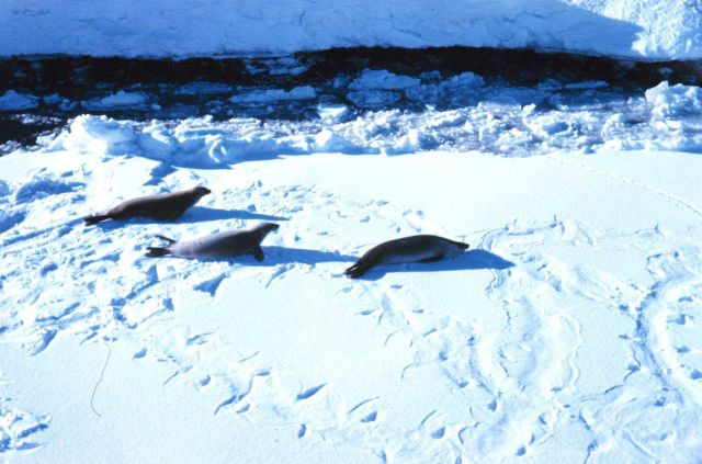 Seals on the ice in Meek Channel - note flipper marks in the snow. Picture