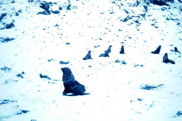 Sea lions at Cape Geddes, Laurie Island, South Orkney Islands Picture