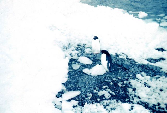 Adelie penguins Picture