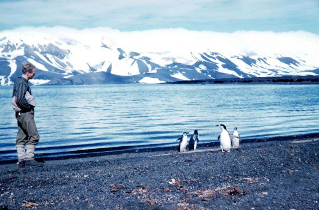 Adelie penguins on the beach at Deception Island Picture