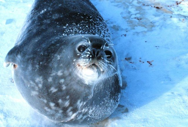 Weddell Seals hauled out on the ice getting ready to give birth. Picture