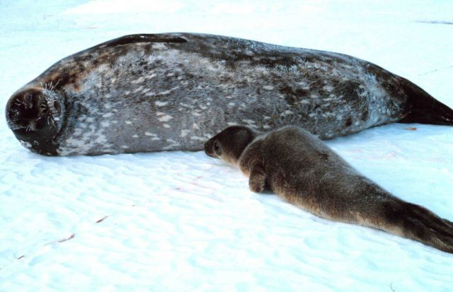 A mother Weddell seal and her pup Picture