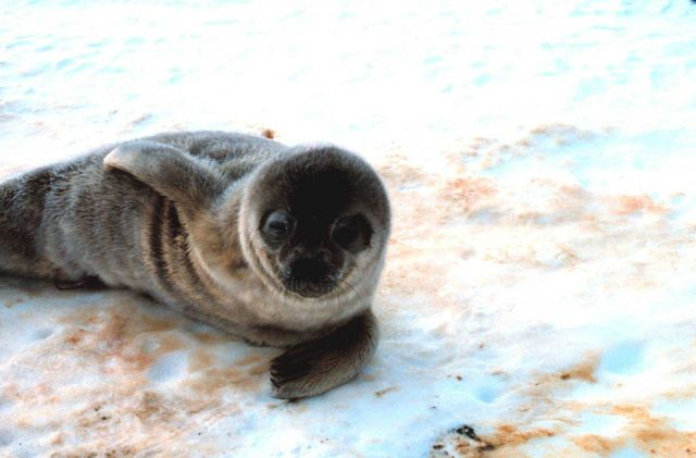 Ahhhh! What a cute baby! Weddell seal pup. Picture