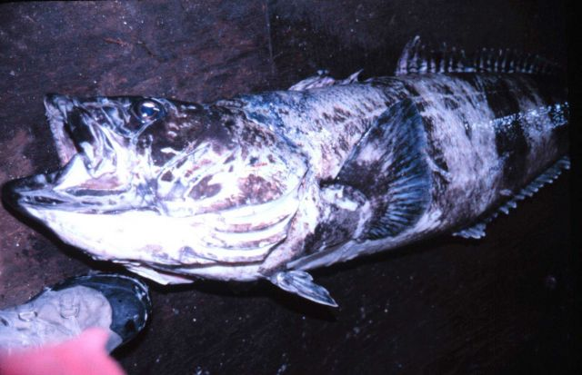 A five-foot Antarctic cod. Picture