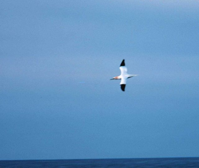 A gannett - a sea bird that spends most of its life off shore Picture