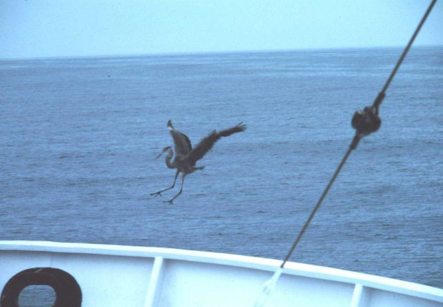 A lost blue heron hitching a ride at sea. Picture