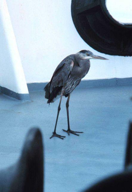 A blue heron resting up before trying to find his way back to land. Picture
