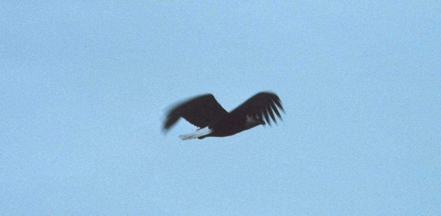 Eagle in flight at St Picture
