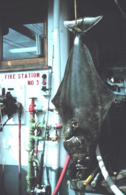 Large halibut Picture