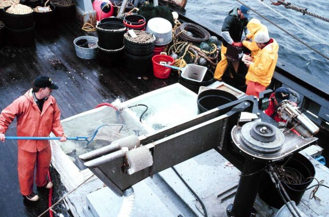 Sablefish put in live tank, scooped up, tagged, and sent back overboard. Picture