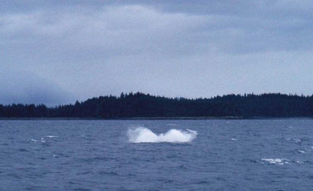 Splash from a breaching humpback whale. Picture