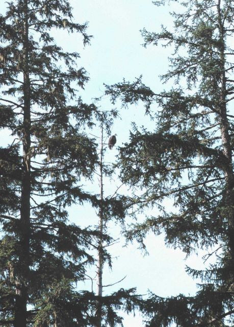 An eagle in a fir tree. Picture