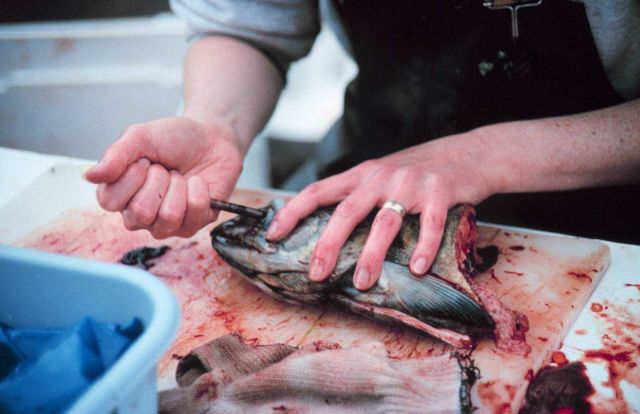 Removing an eye from a chum salmon for genetic research. Picture