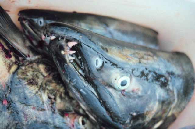 Deformed jaws of salmon caused by the spawning process altering their bodies. Picture
