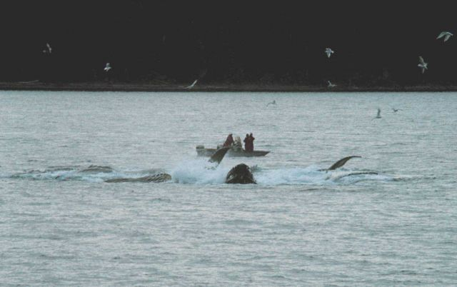 Group of humpback whales feeding in Iyoukeen Cove, Chichagof Island. Picture