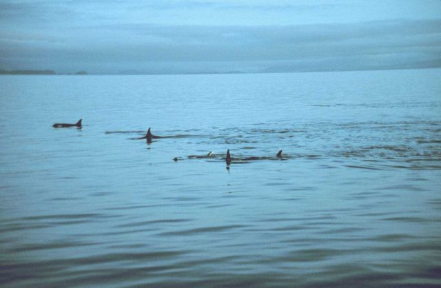 A pod of killer whales in Frederick Sound. Picture