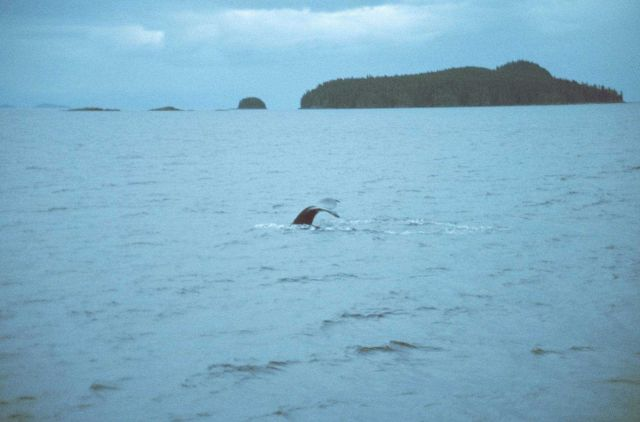 A diving killer whale in Frederick Sound. Picture