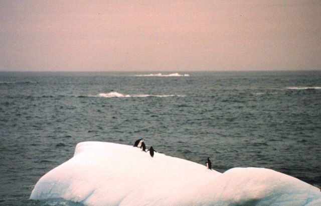 Adelie penguins on a small iceberg off the Antarctic Peninsula. Picture
