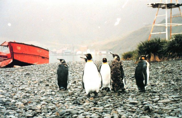 King penguins on shore leave looking for the party at Grytviken. Picture