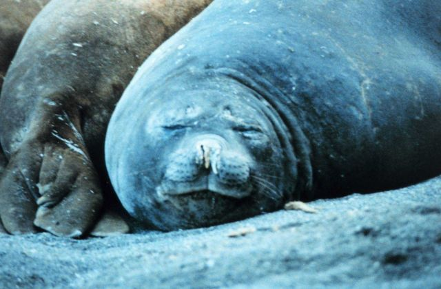 Elephant seals sleeping. Picture