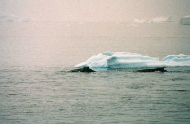 Humpback whales near Antarctic Peninsula. Picture