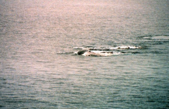Humpback whales feeding on krill near Antarctic Peninsula. Picture