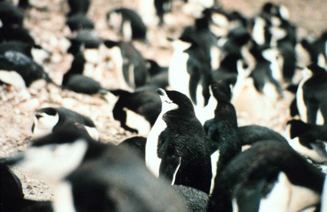Seal Island chinstrap penguins. Picture