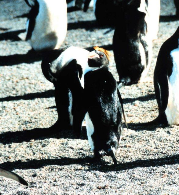 Tufted macaroni penguin among chinstrap penguins. Picture