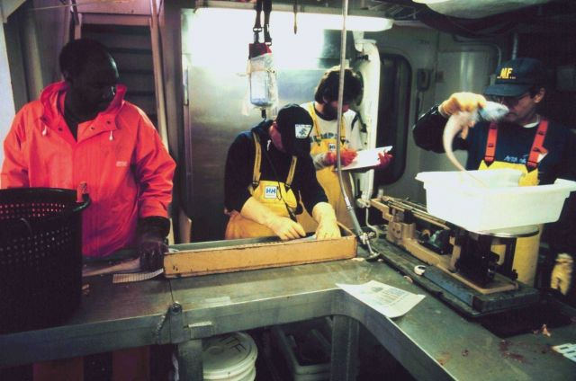 Scientist weighing and measuring fish on the MILLER FREEMAN Picture