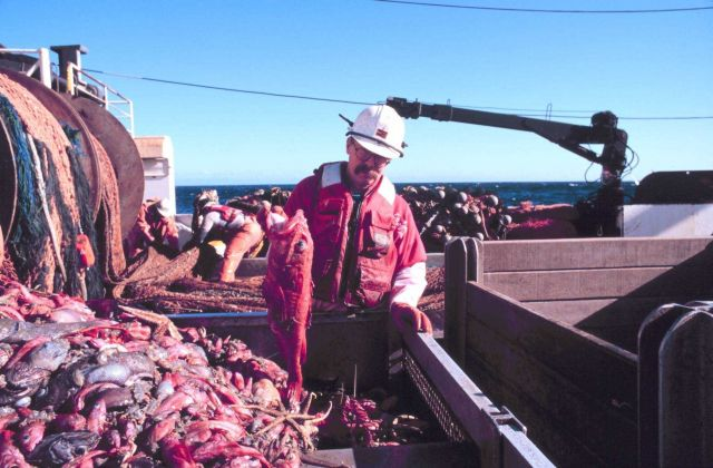 Scientist sorting the catch after being dumped in the checker from the cod end of the trawl. Picture