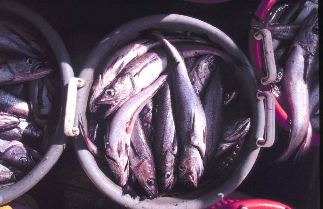 A bucket load of fish ready for measuring and weighing. Picture