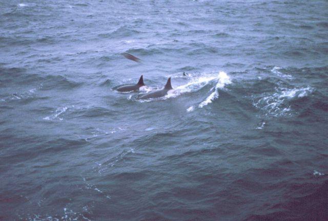 Killer whales alongside the MILLER FREEMAN. Picture