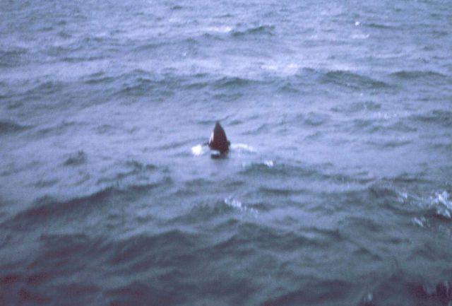 Spy-hopping killer whale alongside the MILLER FREEMAN. Picture