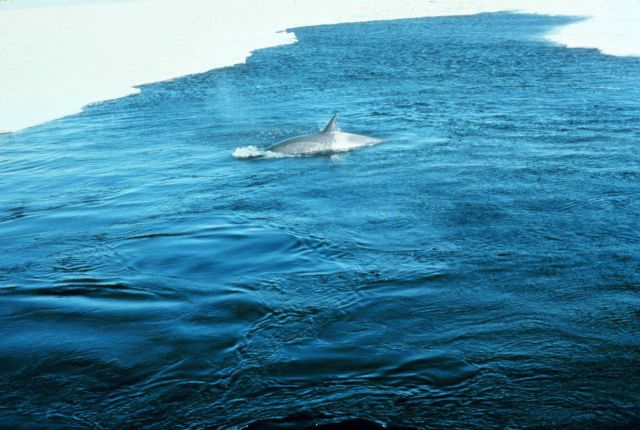 Killer whale cruising the pack ice looking for seals. Picture