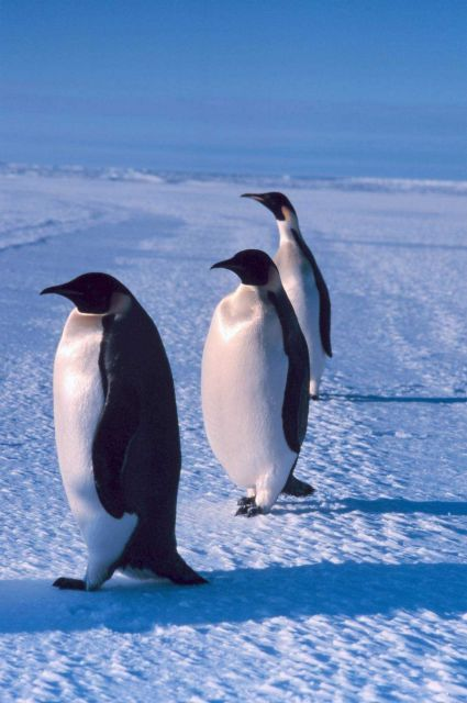 Emperor penguins in the Southwest Ross Sea. Picture