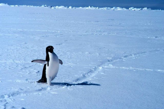Adelie penguin on ice in Ross Sea. Picture