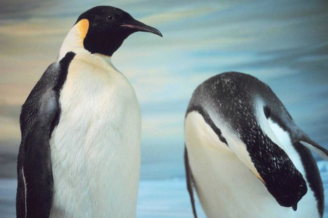 Stuffed emperor penguins on display in the Canterbury Museum in Christchurch, New Zealand. Picture