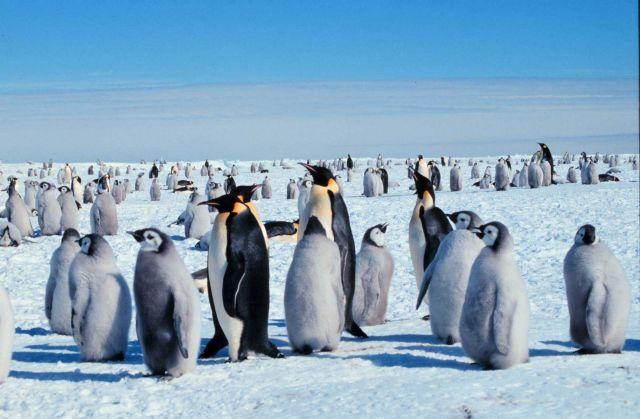 Emperor penguins. Picture