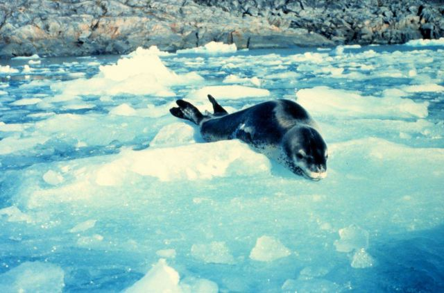 A leopard seal. Picture