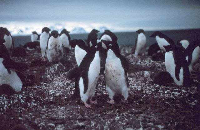 Adelie penguins. Picture