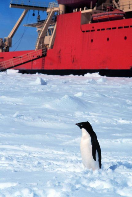 Adelie penguin posing in front of the National Science Foundation Research Ice Breaker NATHANIEL B Picture